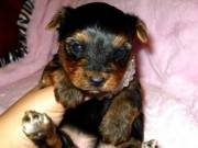 Afectionate Yorkie Puppies for Free