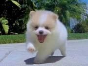 Playful Pomeranian puppies ready to Go