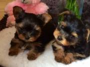 Affectionate and healthy teacup yorkie puppies