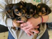 Two Teacup Puppies Needs a New Family