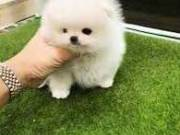 Adorable T-cup Pomeranian puppies for adoption
