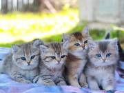 Persian kittens for sale in USA