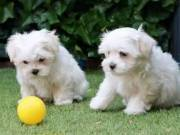Micro Cute Maltese Puppies For Adoption