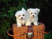 Extra Chaming Valentine Maltese Puppies