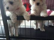 Two Teacup Maltese Puppies for sale near me.