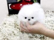 Purebred Tiny Pomeranian puppies (678) 682-6195