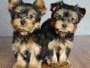 Cute TeaCup Yorkie Puppies For Good Homes