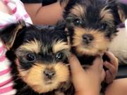Yorkie puppies for re-homing