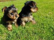 Teddy Bear Face Yorkie Puppies Female  and Male