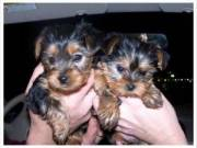 Excellent Yorkie Puppies Available