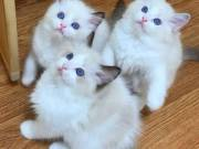 We currently have 3 most ever beautiful and adorable passionate mates ragdoll  litters kittens