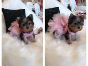 I have a mixed litter of yorkies available
