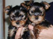 T-Cup Yorkie pups for adoption.Text