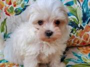 Male and famale Maltese puppies