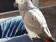 Stunning African Grey parrot for a lonely house wife
