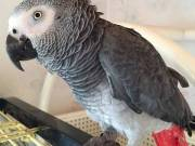 Gorgeous African Grey Parrot For Companionship