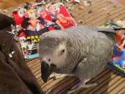 Handy Fed African Grey Parrot For Mothers