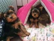 Adorable Teacup Yorkie  pups for sale