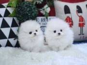 Male and Female teacup Pomeranian puppies for sale (678) 682-6195