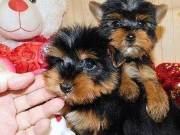 Afectionate Yorkie Puppies For Re-homing