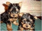 Cute Akc Teacup Yorkie Puppies!