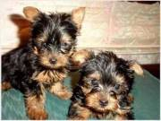 Cute And Adorable Yorkie Puppies Available For Any Good Homes