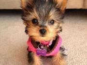 3 months old male and female Yorkie puppies very friendly TEXT (704) 386-3533