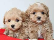 Apricot Maltipoo Puppies Teacup Size for sale . Text::  (760) 349-6497