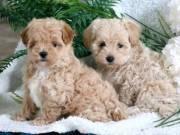 Maltipoo (Maltese/Poodle) puppy!.Text::  (760) 349-6497