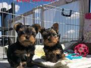 Hi,meet our Lovely Yorkshire Terrier puppy.  Text :::::: (760) 349-6497