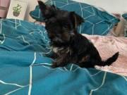 Beautiful Puppy Girl Biewer