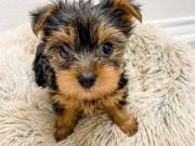 Beautiful Yorkshire Terriers Available