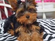 Miniature Yorkshire Terrier For Sale