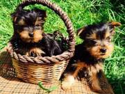 Two Teacup Yorkie Puppies $250 each