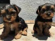 ♥♥Two Teacup Yorkie puppies♥♥$250 each♥♥(715)248-2965