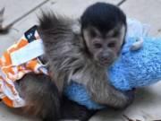 Adorable capuchin monkeys available