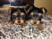 Sweet Yorkie puppies available 6785390952