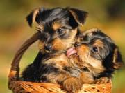 ♥♥Two healthy Yorkie puppies♥♥$250 each♥♥