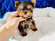 akc Teacup Yorkie for puppies for sale