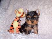 Teacup Yorkie for puppies for sale
