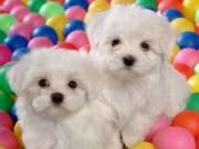 Gorgeous full coat teacup maltese puppies
