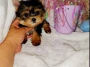 Cutest Little Teacup Yorkie Puppies