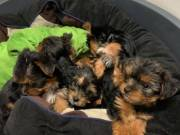 Cutest Yorkshire Terrier Puppies Available