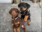 We are a small family kennel raising Cavalier, Doberman Pinscher, and West Highland White Terrier (W