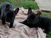 Two awesome French Bulldog puppies for adoption: 704-565-6825